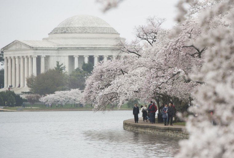 People walk past cherry trees as they blossom around the Tidal Basin on the National Mall in Washington, DC, April 10, 2015. The cherry blossoms, originally a gift from Japan, will reach their peak bloom in the next several days. (Saul Loeb/AFP/Getty Images)
