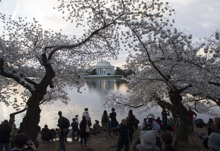 People take photographs of cherry trees as they blossom around the Tidal Basin at sunrise near the Jefferson Memorial on the National Mall in Washington, DC, April 11, 2015. The cherry blossoms, originally a gift from Japan, reached their peak bloom yesterday. (Saul Loeb/AFP/Getty Images)
