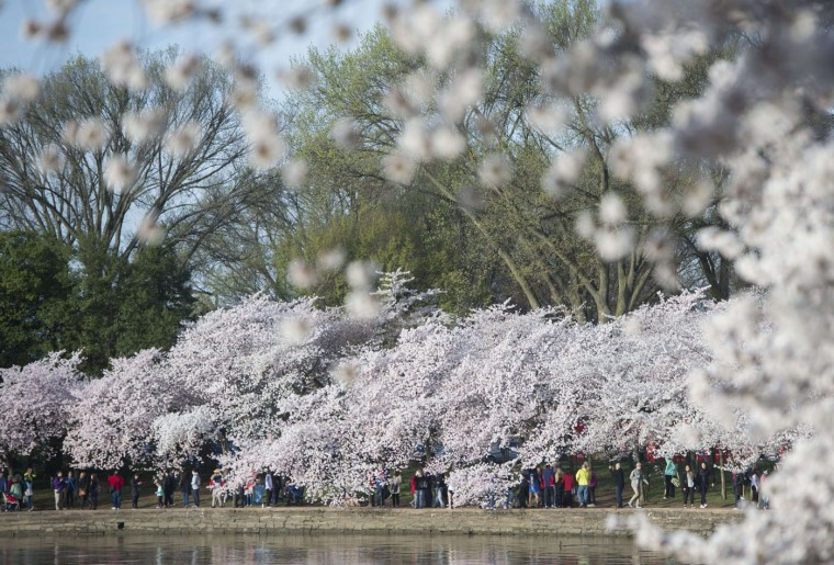 People walk past cherry trees as they blossom around the Tidal Basin on the National Mall in Washington, DC, April 11, 2015. The cherry blossoms, originally a gift from Japan, reached their peak bloom yesterday. (Saul Loeb/AFP/Getty Images)