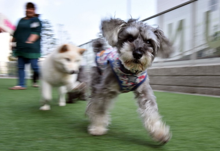 This picture taken on April 17, 2015 shows dogs running on artificial turf of the Japanese pet company Aeon Pet Pecos. Aeon Pet, a subsidiary of the Aeon supermarket chain, opened last year the dog nursing home with full-time care, providing a gym, a swimming pool, and some kennel spaces in accordance with the size of the dog. (Kazuhiro Nogi/AFP/Getty Images)