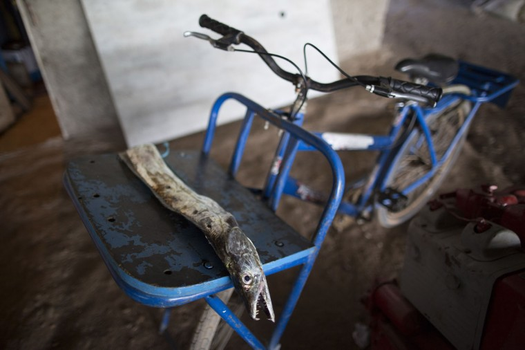 In this March 3, 2015 photo, a cutlassfish caught in Guanabara bay lays on a fisherman's bike, which he planned to take home, at the dock in the Vila Pinheiro slum, part of the Mare complex in Rio de Janeiro, Brazil. Slowly, year after year, fishermen's catches have diminished. The men blame industrial and sewage pollution for their empty nets. (AP Photo/Leo Correa)