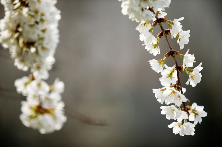 Cherry blossoms bloom in Washington, Tuesday, April 7, 2015. Officials are calling for a peak bloom period from April 11-14th. (AP Photo/Andrew Harnik)