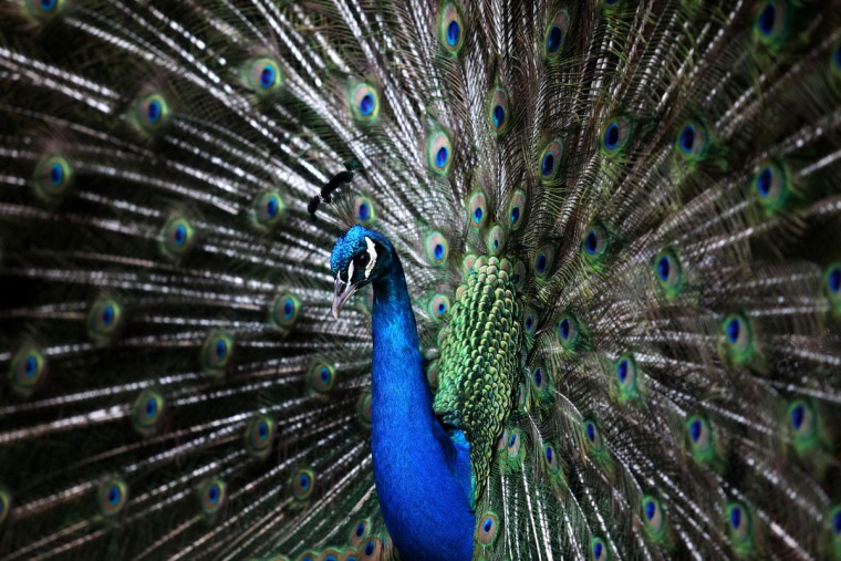 A peacock displays its tail feathers at the Tropical Botanic Garden in Lisbon, Wednesday, April 8, 2015. Male peacocks display and shake its tail feather to attract attention to female peahens during courtship. (AP Photo/Francisco Seco)
