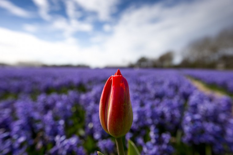 A lone tulip sprouts up in a field of blossoming hyacinths near Lisse, Netherlands, Thursday, April 16, 2015. Flowers are left to blossom in the field to harvest the bulbs, one of the country's well known export products. (AP Photo/Peter Dejong)