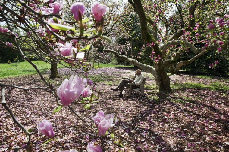 "Howard Robinson, 66, of Silver Spring, Md. reads a book under flowering magnolia trees at the U.S. National Arboretum in Washington, Monday, April 20, 2015. ""Over the years I've identified this spot,"" says Robinson, ""to be at one with that positive energy that comes from nature. It's like a pilgrimage each spring."" (AP Photo/Jacquelyn Martin)"