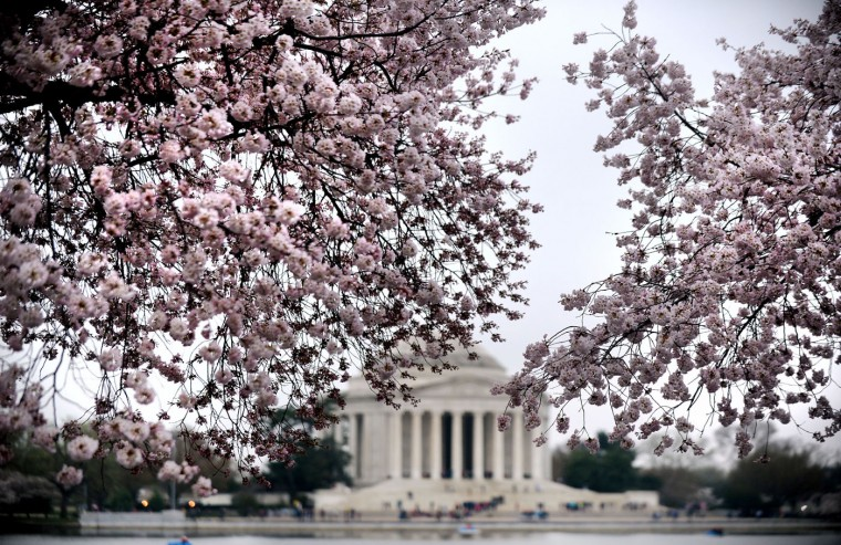 The Thomas Jefferson Memorial is seen behind blooming cherry blossom trees at the Tidal Basin April 10, 2015 in Washington, D.C. (Olivier Douliery/Abaca Press/TNS)