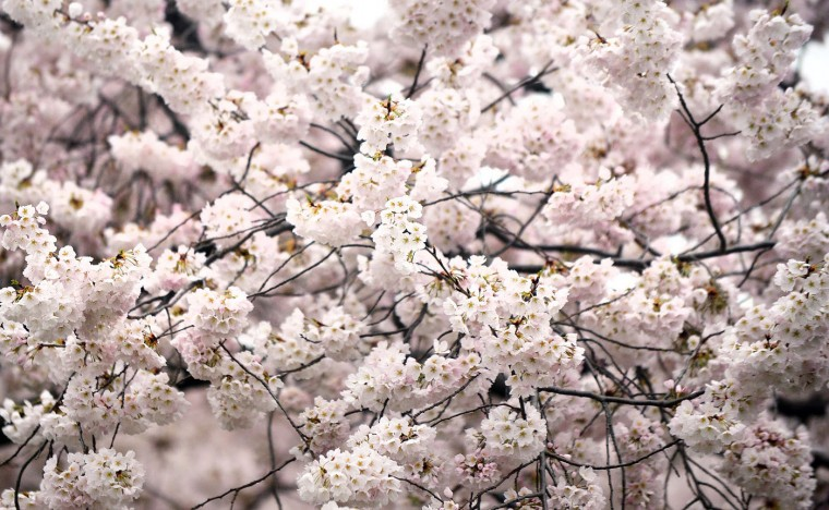 Cherry trees blossom around the Tidal Basin on the National Mall in Washington, D.C, April 10, 2015. The cherry blossoms, originally a gift from Japan, will reach their peak bloom in the next several days. (Olivier Douliery/Abaca Press/TNS)