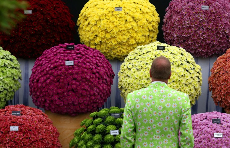A visitor poses for a photograph next to chrysanthemums on the press preview day of the Chelsea Flower Show on May 18, 2015 in London, England. The show, which has run annually since 1913 in the grounds of the Royal Hospital Chelsea, is open to the public from 19th to 23rd May and is expected to draw around 157,000 visitors. (Photo by Carl Court/Getty Images)