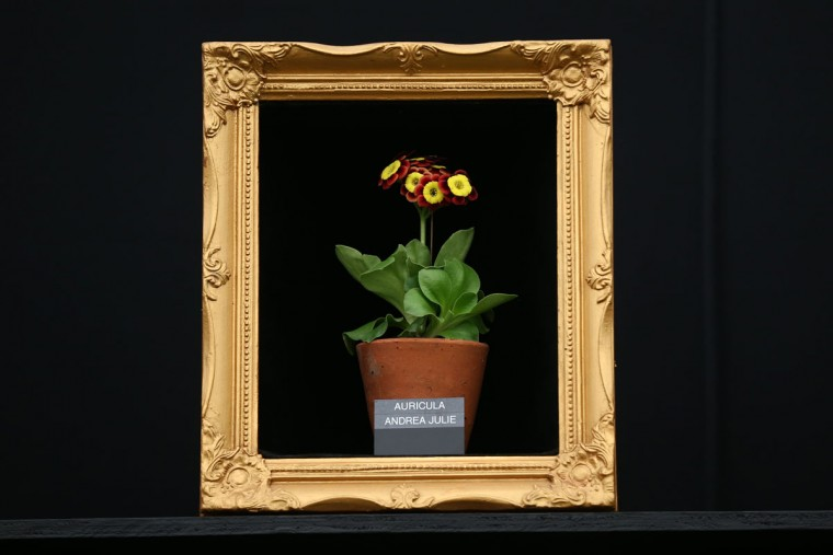 An auricula is positioned in a picture frame on the press preview day of the Chelsea Flower Show on May 18, 2015 in London, England. The show, which has run annually since 1913 in the grounds of the Royal Hospital Chelsea, is open to the public from 19th to 23rd May and is expected to draw around 157,000 visitors. (Photo by Carl Court/Getty Images)