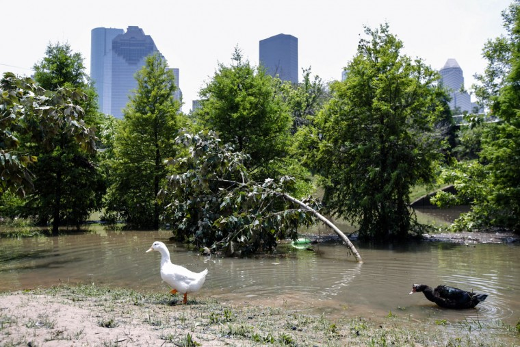 Ducks walk in the water at Buffalo Bayou park after massive flooding May 27, 2015 in Houston, Texas. At least 19 people have been killed across Texas and Oklahoma after severe weather, including catastrophic flooding and tornadoes, struck over the past several days, with more rain expected. (Photo by Eric Kayne/Getty Images)