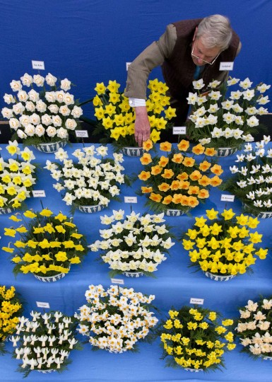 Horticulturalist Johnny Walker tends to his daffodils in the Great Pavilion at the 2015 Chelsea Flower Show in London on May 18, 2015. The Chelsea flower show, held annually in the grounds of the Royal Hospital Chelsea, will run this year from May 19-23. (AFP Photo/Justin Tallis)
