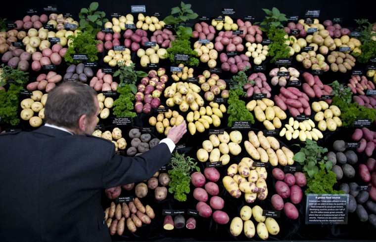 An exhibitor adjusts his display of potatoes in the Great Pavilion at the 2015 Chelsea Flower Show in London on May 18, 2015. The Chelsea flower show, held annually in the grounds of the Royal Hospital Chelsea, will run this year from May 19-23. (AFP Photo/Justin Tallis)
