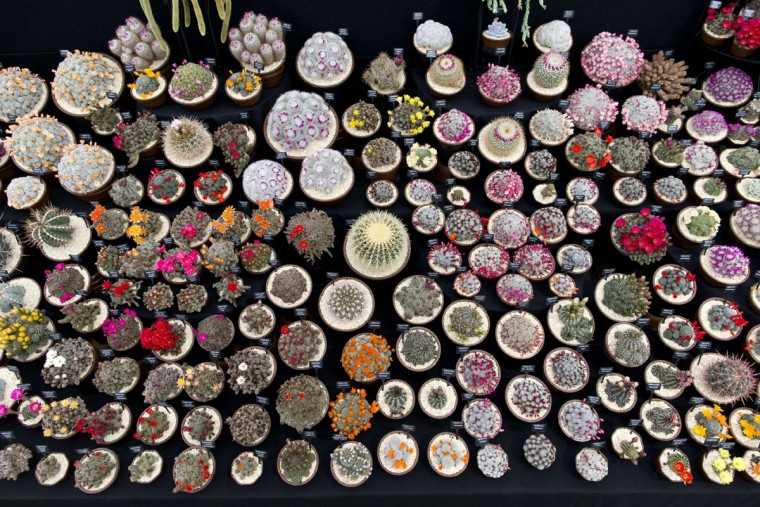 A display of cacti are pictured in the Great Pavilion at the 2015 Chelsea Flower Show in London on May 18, 2015. The Chelsea flower show, held annually in the grounds of the Royal Hospital Chelsea, will run this year from May 19-23. (AFP Photo/Justin Tallis)