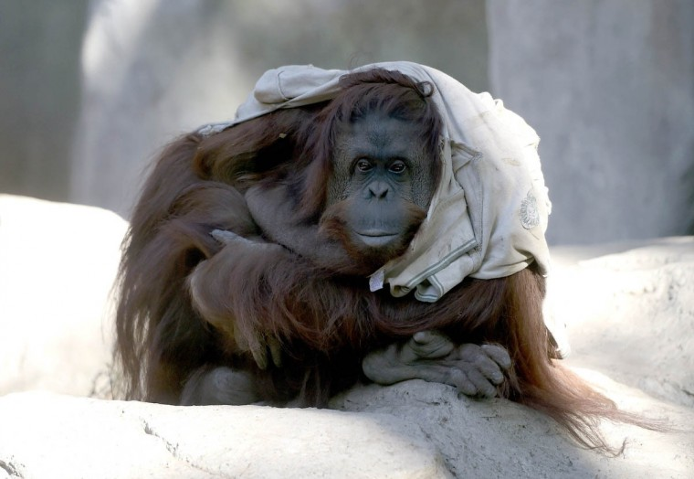 Sandra, a 29-year-old orangutan in her pit at Buenos Aires' zoo, on May 20, 2015. Sandra got cleared to leave a Buenos Aires zoo that was her home for 20 years, after a court ruled she was entitled to more desirable living conditions. (Juan Mabromata/Getty Images)