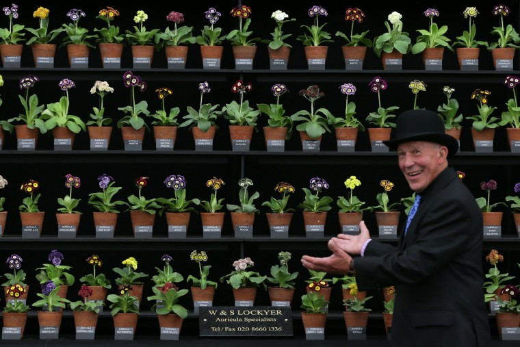 A man poses for pictures with his plant display, at the Chelsea Flower Show in London, Monday, May 18, 2015. The Chelsea Flower Show will take place between May 19 - 23. (AP Photo/Tim Ireland)