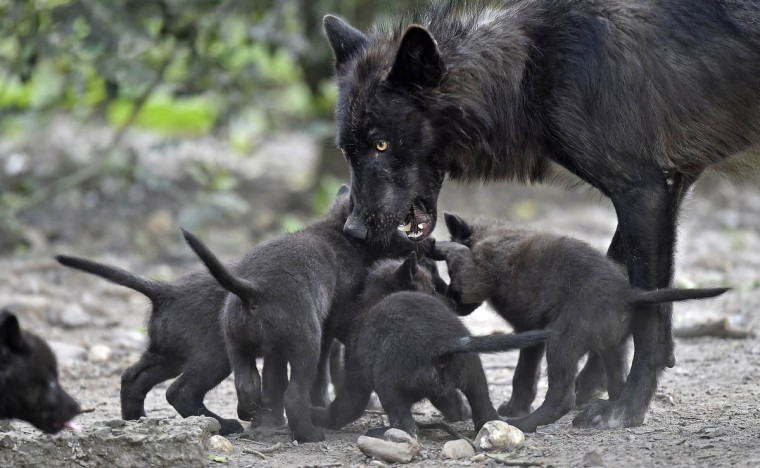 Little one month old wolves playing with the pack at the zoo in Gelsenkirchen, Germany, on a spring Wednesday, May, 20, 2015. (AP Photo/Martin Meissner)