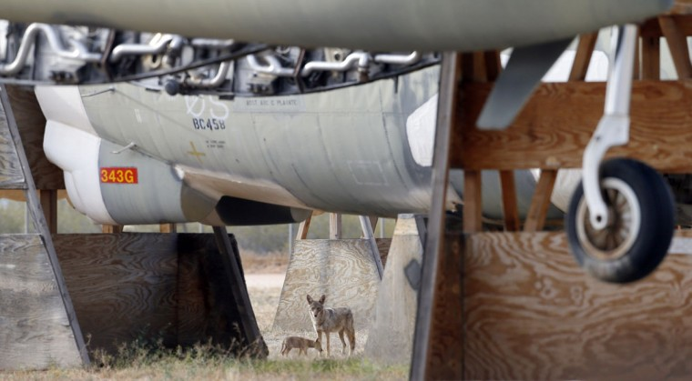 A wolf and her pup stand under a B-52G at the 309th Aerospace Maintenance and Regeneration Group boneyard, Thursday, May 21, 2015, in Tucson, Ariz. The 309th is the United States Air Forceís aircraft and missile storage and maintenance facility and provides long and short-term aircraft storage, parts reclamation and disposal. (AP Photo/Matt York)