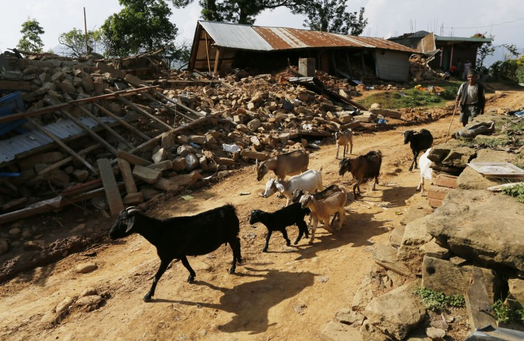 In this photo taken on Saturday, May 2, 2015, a villager walks his goats through the destroyed village of Pokharidanda, near the epicenter of the April 25 massive earthquake, in the Gorkha District of Nepal. (AP Photo/Wally Santana)
