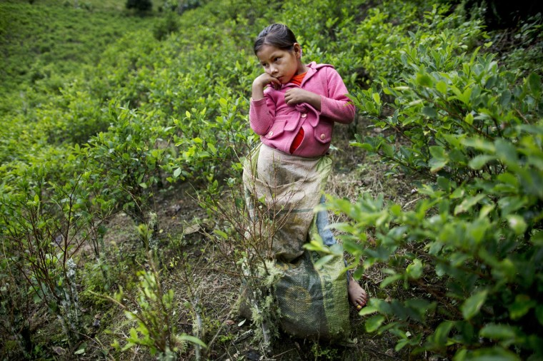 In this March 16, 2015 photo, Janet Curo, 9, takes a break from harvesting coca leaves with her mother, in La Mar, province of Peruís Ayacucho state. Janet skipped school to help her mother in the coca fields. They are in the remote Apurimac, Ene and Mantaro river valley, where 60 percent of Peruís cocaine originates. (AP Photo/Rodrigo Abd)