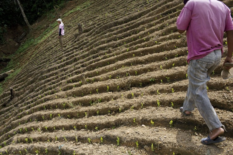In this March 13, 2015 photo, Donato Mosco, right, and Delfin Mosco, begin their work day of weeding coca fields, in La Mar, province of Ayacucho, Peru. Peruís cocaine trade is highly decentralized, run by scores of extended families who sell to representatives of foreign cartels. (AP Photo/Rodrigo Abd)