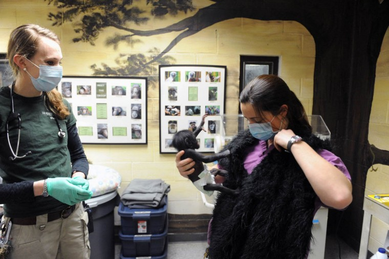 Dr. Anne Rivas watches Keeva move around as Claire MacNamara readjusts the fake fur vest she is wearing. Rivas is checking on the health of the chimp. (Kim Hairston/The Baltimore Sun)