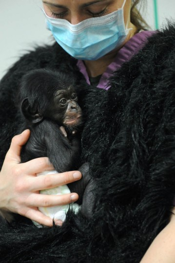 Claire MacNamara, Chimp Forest Area manager, holds Keeva, a chimpanzee born two weeks ago at the Maryland Zoo in Baltimore. (Kim Hairston/The Baltimore Sun)
