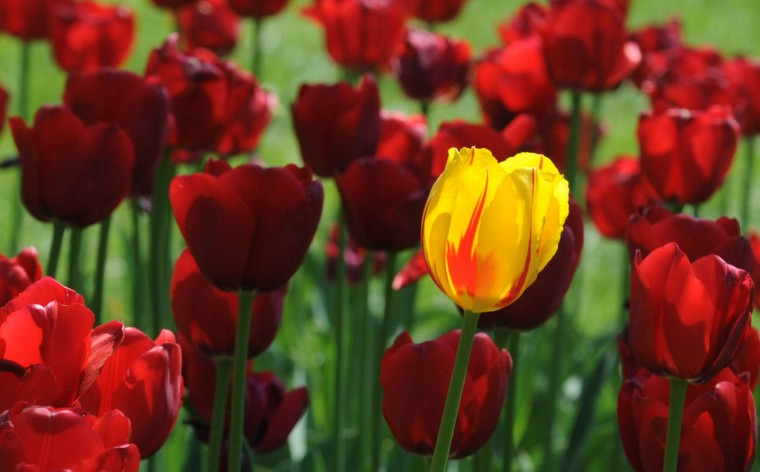 Standing out among the rest is a variegated yellow tulip in a sea of red at Sherwood Gardens, which covers six acres. (Algerina Perna/Baltimore Sun)