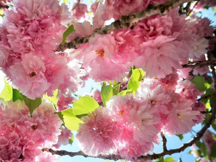 Flowering cherry blossom trees (pictured) dogwoods, wisteria and magnolias complement the tulip gardens at Sherwood Gardens. (Algerina Perna/Baltimore Sun)
