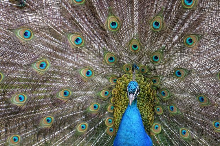 A male peacock spreads its tail in Henndorf, near Salzburg, Austria , Monday, May 25 2015. (AP Photo/Kerstin Joensson)