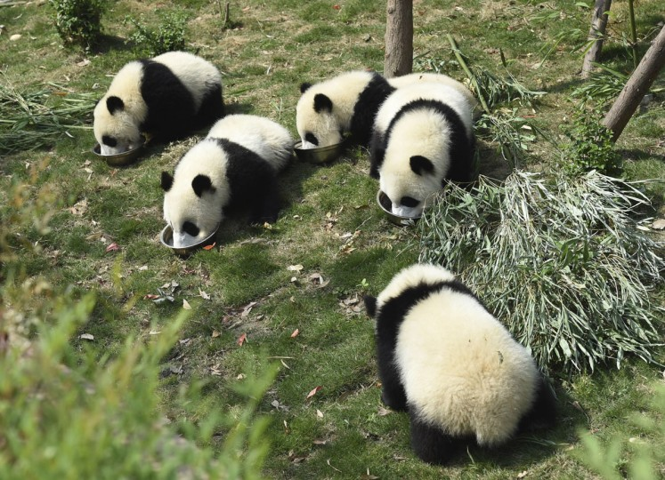 Five panda cubs eat special milk porridge served in separate bowls during feeding time at the Chengdu Panda Breeding Research Center in Chengdu in southwestern China's Sichuan province Wednesday, May 13, 2015. According to the most recent census by China's State Forestry Administration, announced in February 2015, there are a total of 1,864 pandas in the wild and 211 in captivity in China. (Chinatopix via AP)