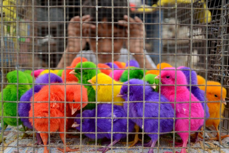 An Indian boy looks at coloured chicks for sale at 10 Indian rupees (15 US cents) each at a roadside stall in Amritsar. Stall-owner Raja earns approximately 200 - 300 Indian rupees (3 - 4.50 dollars) per day selling chicks. (Narinder Nanu/Getty Images)