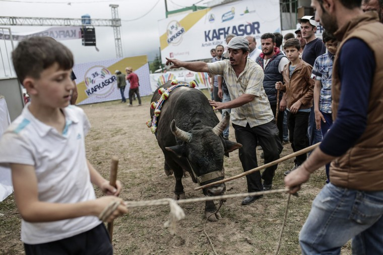 People prepare a bull to fight during the traditional Kafkasor Bullfighting festival on June 14, 2015, in Artvin, northeastern Turkey. (YASIN AKGUL/AFP/Getty Images)