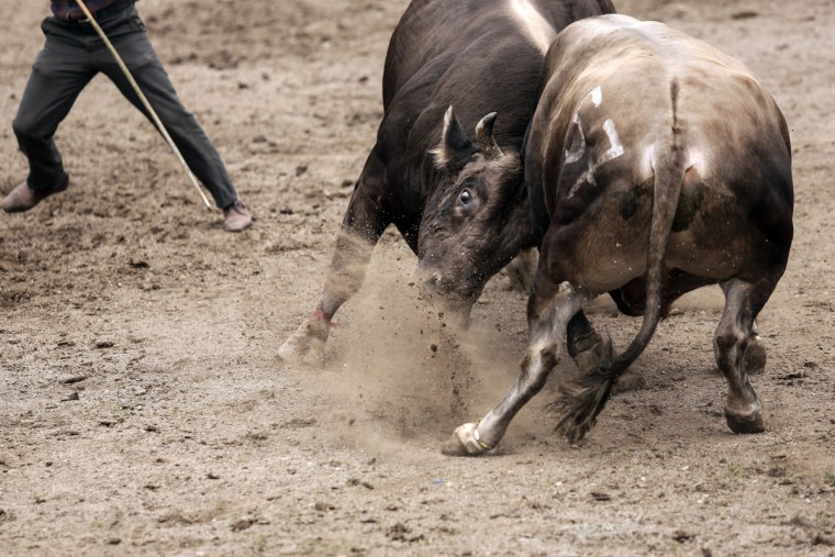 Bulls fight during the traditional Kafkasor Bullfighting festival on June 14, 2015, in Artvin, northeastern Turkey. (YASIN AKGUL/AFP/Getty Images)