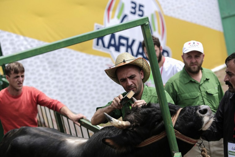 A man prepares a bull for a fight during the traditional Kafkasor Bullfighting festival on June 14, 2015, in Artvin, northeastern Turkey. (YASIN AKGUL/AFP/Getty Images)