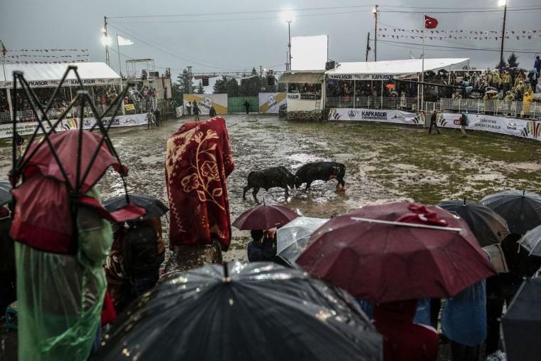People watch a bullfight during the traditional Kafkasor Bullfighting festival on June 14, 2015, in Artvin, northeastern Turkey. (YASIN AKGUL/AFP/Getty Images)