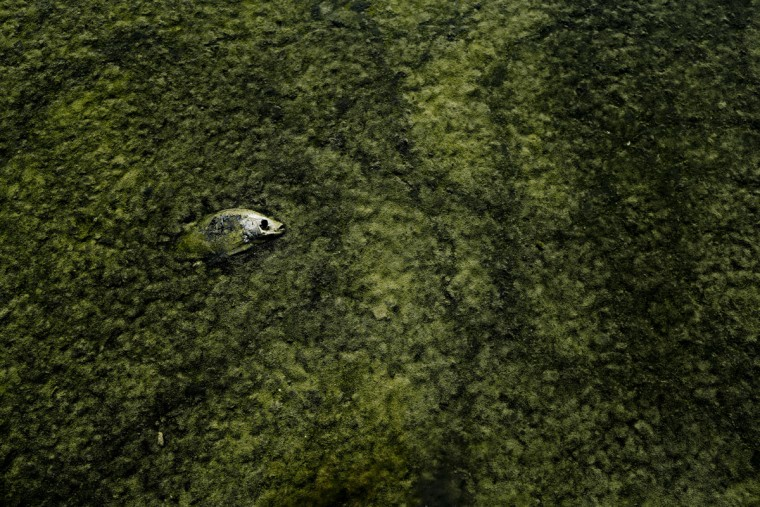In this April 29, 2015, photo, a dead tilapia floats among algae in a shallow Salton Sea bay near Niland, Calif. Though many species of fish have been brought to Salton Sea over the years, the hearty tilapia fish and native desert pupfish are the only ones left, and increasing salinity endangers them. (AP Photo/Gregory Bull)