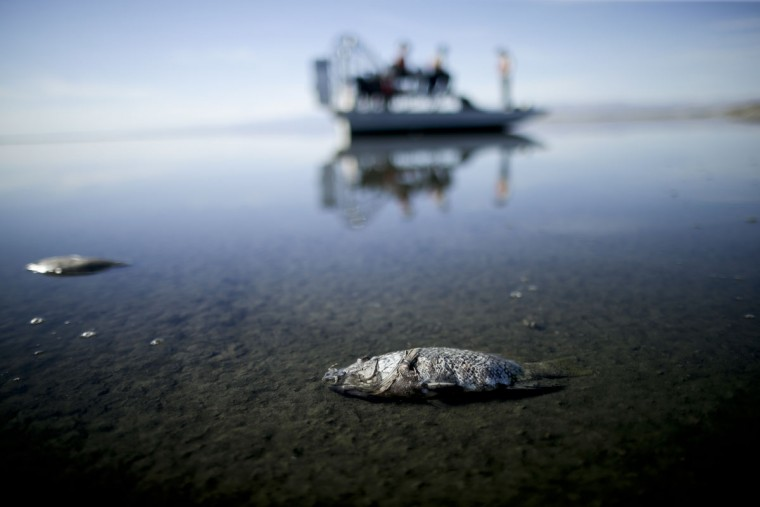 """In this April 29, 2015 picture, oxygen-starved tilapia float in a shallow Salton Sea bay near Niland, Calif. Often called the """"The Accidental Sea,"""" because it was created when the Colorado River breached a dike in 1905, Salton Sea now faces a looming calamity as coastal Southern California clamors for more water. (AP Photo/Gregory Bull)"""