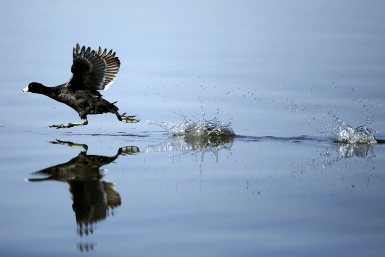 """In this April 29, 2015, photo, an American coot runs across the surface of the Salton Sea before taking flight near Niland, Calif. Located on what is called the """"Pacific flyway,"""" heavy migrations of waterfowl, marsh and seabirds take advantage of the Salton Sea during spring and fall. For them, the lake is a desert oasis from vast stretches of rock and sand. (AP Photo/Gregory Bull)"""