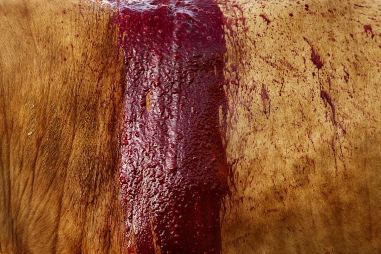 In this photo taken Saturday, May 30, 2015, an Alcurrucen ranch fighting bull bleeds during a bullfight in Aranjuez, near Madrid, Spain. Bullfighting is an ancient tradition in Spain. (AP Photo/Daniel Ochoa de Olza)