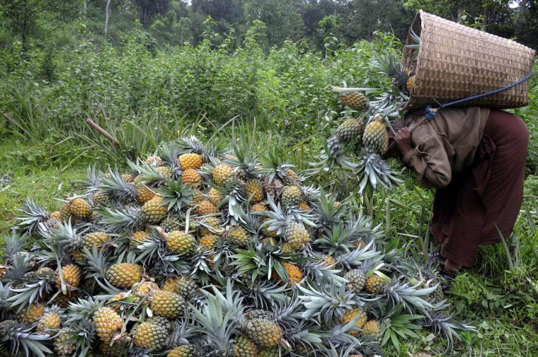 An Indian labourer piles up pineapples after picking them at a farm in Agartala. Labourers at the pineapple orchard earn 300 rupees (USD 4.5) a day for picking them and loading on trucks to head to market where they are sold for 20 rupees each. (Arindam Dey/Getty Images)