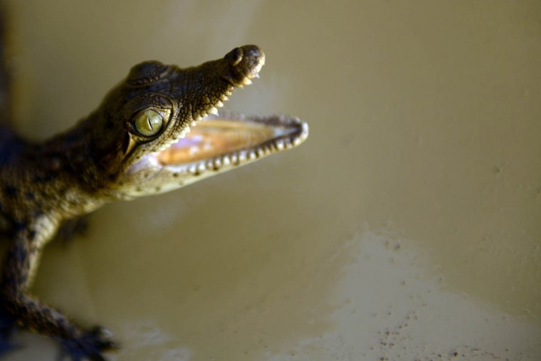 A 10 day-old crocodile (Crocodylus acutus) is seen at a small farm in Barra de Santiago, El Salvador. Crocodiles are considered to be endangered in El Salvador, and some locals of the Barra de Santiago make efforts to preserve the species by breeding and releasing them in protected areas. (Marvin Recinos/Getty Images)