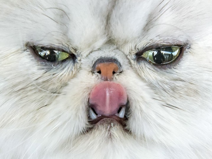 A Persian cat sticks out its tongue during the International pedigree dog and purebred cat exhibition in Erfurt, Germany. Dogs and cats from 21 countries take part at the exhibition and the different competitions. (Jens Meyer/Associated Press)