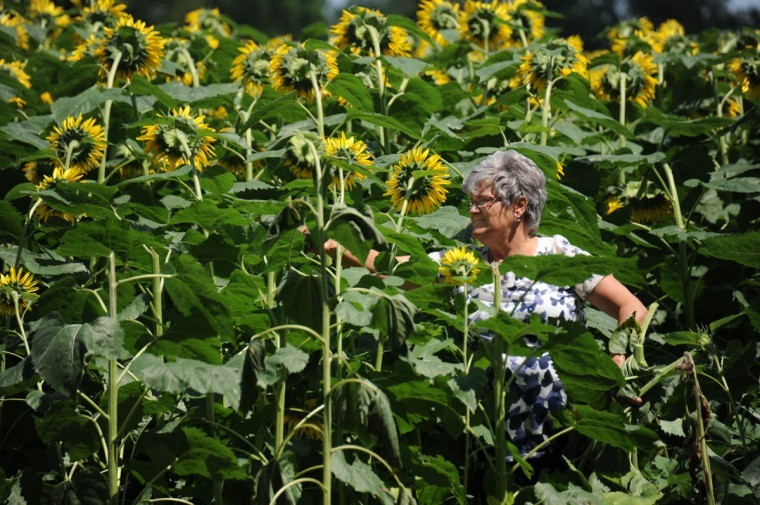 Robbin Miller, Manchester, picks a sunflower from the Maryland Agricutural Resource Council (MARC) field. People are invited to pick their own from among 40 thousand sunflowers at $1.00 per stem or $10 per dozen. The money raised benefits MARC. (Kim Hairston/Baltimore Sun)