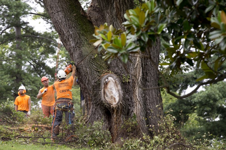 Adirondack Tree Experts employees work together to take down an English Elm Tree at Belmont Manor in Elkridge, MD on Monday, July 27, 2015. The tree, the oldest on the estate's property, is infected with Dutch Elm Disease, a devastating fungal illness spread by the elm bark beetle. (Jen Rynda/BSMG)