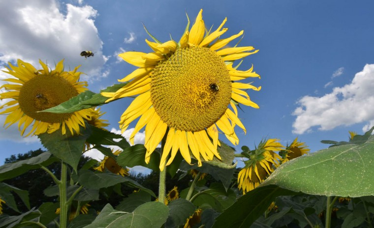 Bees collect nectar and pollen from sunflowers in the Maryland Agricutural Resource Council (MARC) field. People are invited to pick their own sunflowers at $1.00 per stem or $10 per dozen. The money raised benefits MARC. (Kim Hairston/Baltimore Sun)