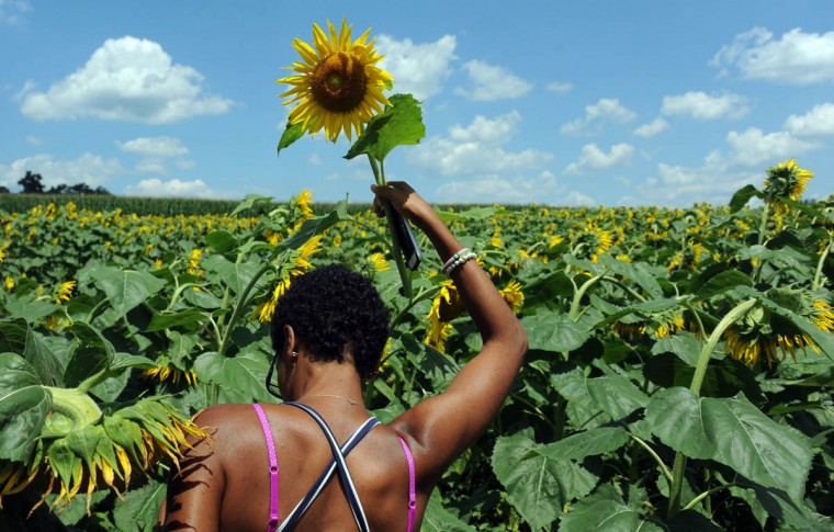 Monique Barnes, 22, Perry Hall, a counselor with Charm City Karate, holds a sunflower as she searches for more. There are 3 acres of sunflowers in the Maryland Agricutural Resource Council (MARC) field where people are invited to pick their own. The $1.00 per stem or $10 per dozen for the flowers benefits MARC. (Kim Hairston/Baltimore Sun)