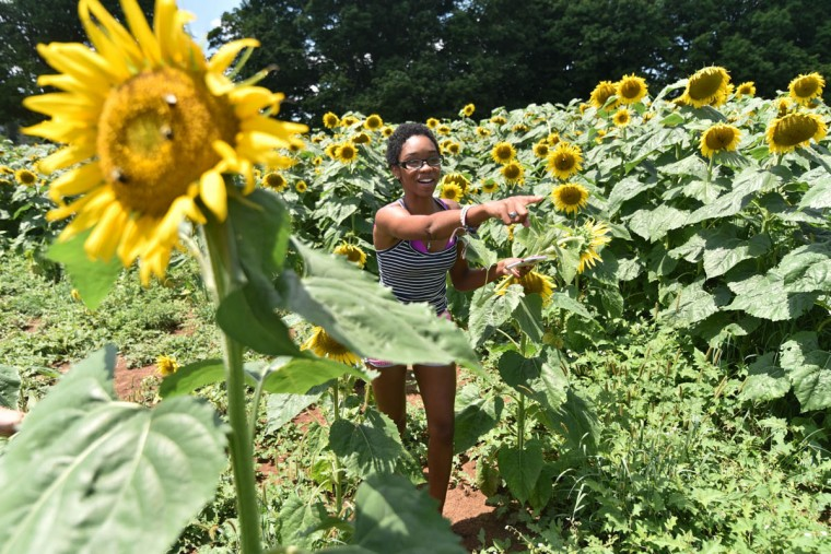 Monique Barnes, 22, Perry Hall, a counselor with Charm City Karate, finds a sunflower she wants. It is among 40 thousand in the Maryland Agricutural Resource Council (MARC) field. People are invited to pick their own sunflowers at $1.00 per stem or $10 per dozen. The money raised benefits MARC. (Kim Hairston/Baltimore Sun)
