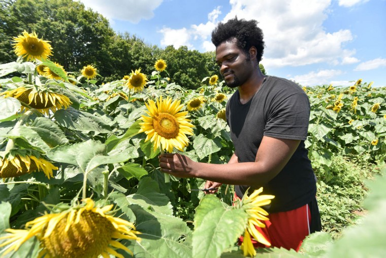 Jean-Philippe Soglo, 21, Hunt Valley, a counselor with Charm City Karate, picks sunflowers from among 40 thousand in the Maryland Agricutural Resource Council (MARC) field. People are invited to pick their own sunflowers at $1.00 per stem or $10 per dozen. The money raised benefits MARC. (Kim Hairston/Baltimore Sun)