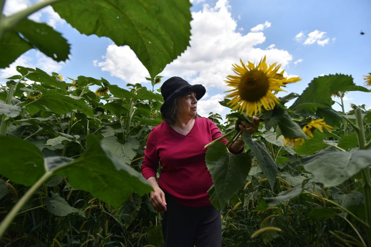 Sheila Lessman, Hunt Valley, holds flowers she picked for her husband's birthday. People are invited to pick their own sunflowers Maryland Agricutural Resource Council. (Kim Hairston/Baltimore Sun)