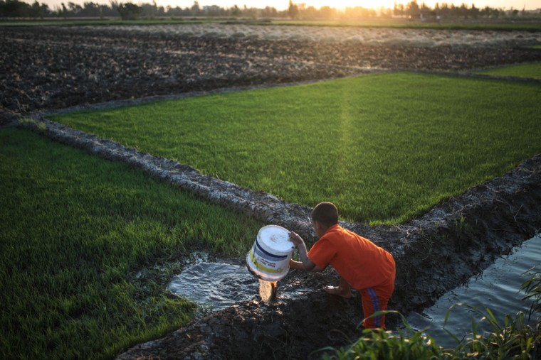In this Thursday, May 14, 2015 photo, a young boy irrigates rice seedlings before they are transferred to a bigger farm, in a village in the Nile Delta town of Behira, 300 kilometers (186 miles) north of Cairo, Egypt. Urban growth has become the chief threat to farmland as Egyptian farmers haphazardly _ and illegally _ build new houses to make room for the next generation. (AP Photo/Mosa'ab Elshamy)